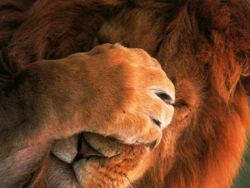 Прикольные фото львов