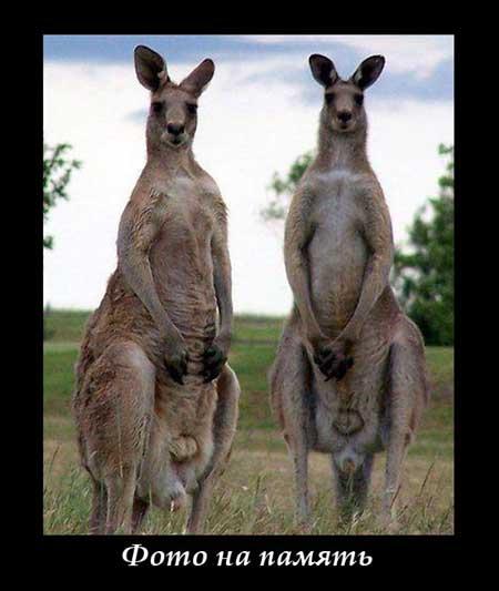 Прикольные картинки кенгуру